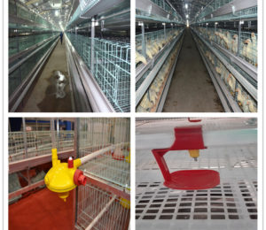 H Type 3-tier cage with poultry drinking system is necessary for chickens.