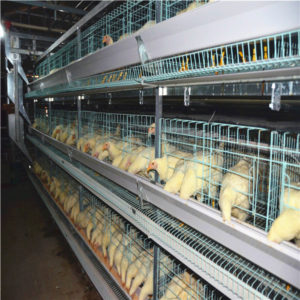 H-type battery cage for layers have the automatic feeding machine.