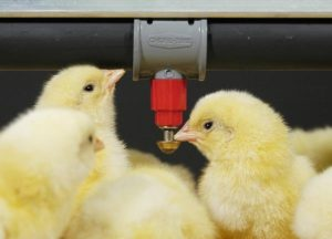 baby chicken drinking system can meet chickens drinking standard.