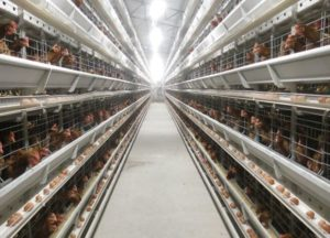 chicken battery cage include layer battery cages and broiler battery chicken cages.