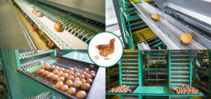 The automatic egg collection systems in Livi Machinery can decrease the rate of bregg