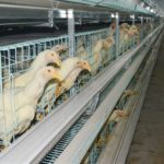 layer chicken cages are very popular in our clients for their high automation feature.