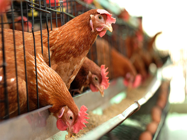 In our standard poultry farming manufacturerwe can guarantee your chickens very healthy environment.