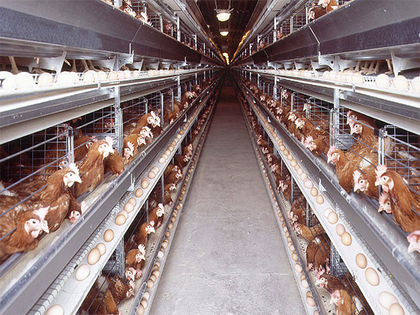 Chicken cages for battery laying hens are the representatives for poultry farming equipment suppliers.