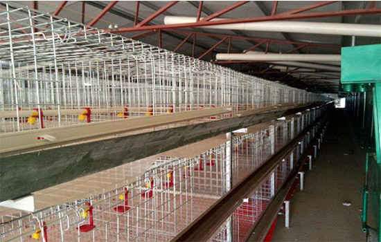 The hygienic broiler battery cage farming can increase the number of units than cage-free farming.