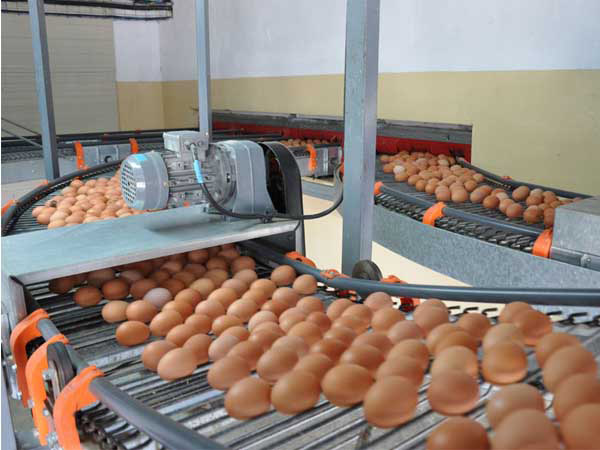 Good egg collecting machine helps layng cages have best efficiency.