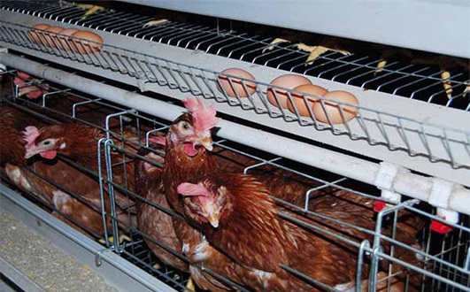 Our laying hens cages can give you best  commercial egg laying equipment.