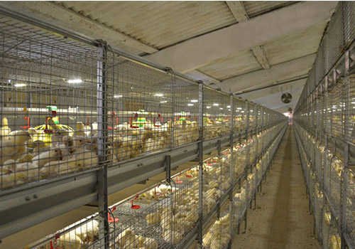 We are confident for our baby chick farming cages.