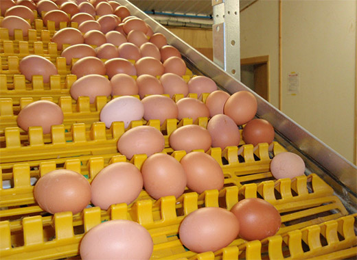 The battery eggs can be collected by Livi's automatic egg production system with loe damage rate.