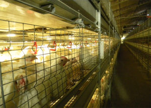 Broilers are raised in poultry farming cages are much healthier than the floor rearing broilers.