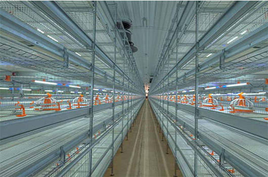 Broilers are farmed in cage system of Livi Machinery.