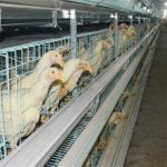 Chicken farm equipment for automated is much more convenient for modern poultry farm.
