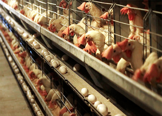 Enriched egg laying chicken cages for sale will beyond your expectation for its features supplied by poultry farm manufacturer.
