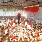 The most common raising mode for broilers are floor raising farming, which can be energy consumption for breeders.