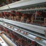 Poultry farming of battery cage equipment for layer cages would be modern and advanced with multiple tiers and types.