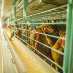Chicken cages of poultry farming equipment in modern poultry industry would be more convenient and beneficial.