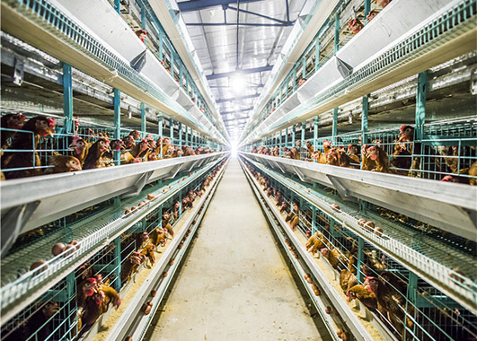 Many tiers of laying hens battery cages will meet your requirements.