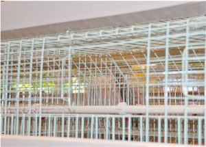 Cage mesh for chicken cages will have an important relationships with chickens' health.