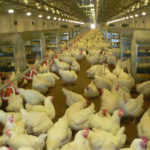Broilers are fed with automatic chicken feeders can increase your work efficiency.