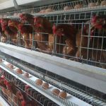 Equipment and facilities in laying hens production.